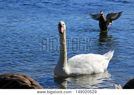 Swan and duck on the river water