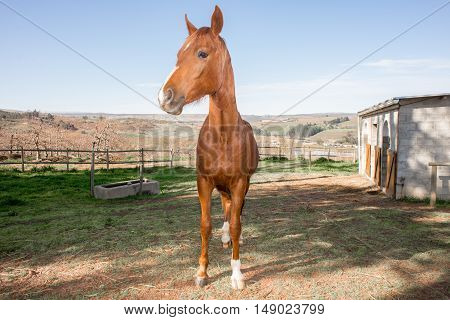 Full length portrait of an Arabian horse inside the camp near the horse stables.