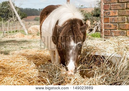 A pony stands in between the hay which has been laid out for the pony to eat.
