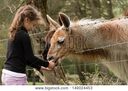 Young girl feeding carrot to llamas in a field. A five year old child offers food to a herd of llama on farmland in Somerset England UK