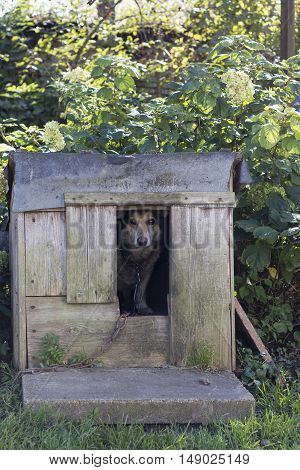 Chained up dog laying in wooden kennel with head out waiting to be released.