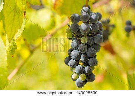 vineyard detail, Minho region, north of Portugal