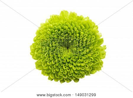green chrysanthemum delicate on a white background