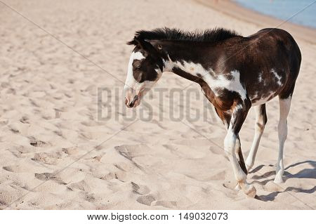 Small Horse On The Beach Walking On Sand