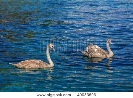 Two young swans swimming in blue water. The picture was taken on Lake Geneva in Switzerland.