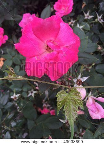 Hot Pink Rose In Bloom