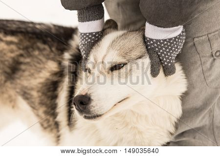 A husky in Finnish Lapland enjoys human attention.