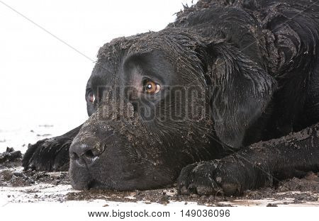 dirty muddy dog laying down with sad expression
