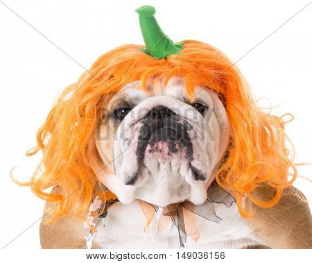 english bulldog wearing pumpkin costume on white background