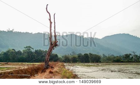 The dead tree in the middle of a paddy field.