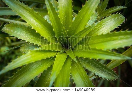 Green pineapple leaves with sharp thorns, top view.
