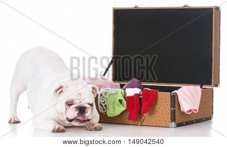 english bulldog beside packed suitcase on white background