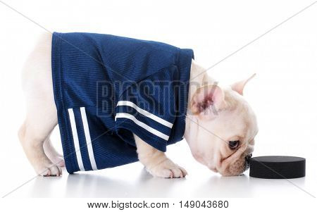 french bulldog puppy wearing hockey jersey and pushing puck with nose