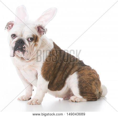 english bulldog wearing bunny ears on white background