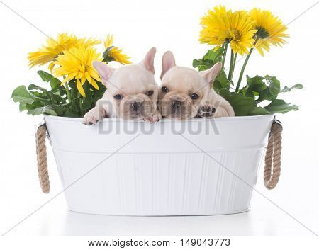 two french bulldog puppies inside a flower pot on white background