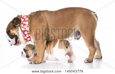 father and daughter bulldogs isolated on white background