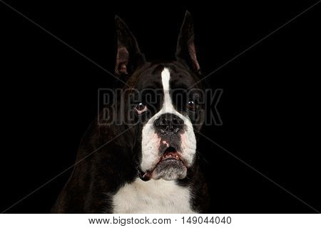 Close-up Portrait of Purebred Boxer Dog Brown with White Fur Color Gazing Looks in Camera Isolated on Black Background