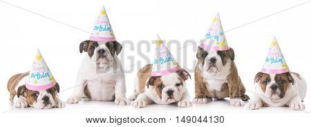 litter of english bulldogs wearing birthday hats on white background