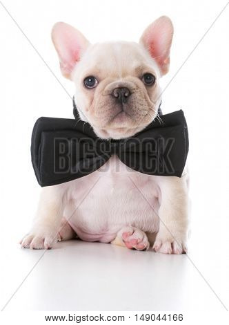 adorable fawn french bulldog puppy wearing a bow tie on white background