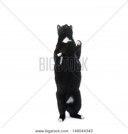 Standing on the floor black cat isolated over the white background