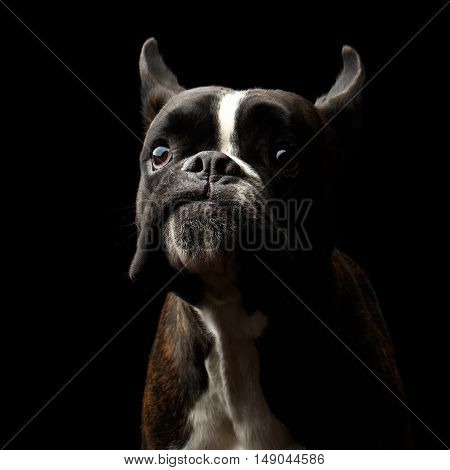 Close-up Portrait of Funny Purebred Boxer Dog Brown with White Fur Color surprised Looks in Camera Isolated on Black Background