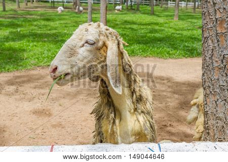 Close up goat in the paddock in Thailand