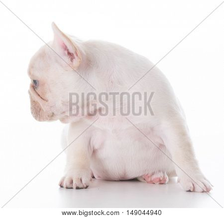 french bulldog puppy sitting on white background