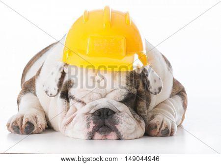 lazy bulldog working dog wearing hard hat isolated on white background