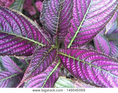 Strobilanthes dyerianus (Persian Shield) is a tropical plant native to Myanmar. It is grown for its dark green foliage with bright metallic-purple stripes