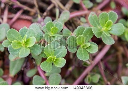 Common Purslane, Verdolaga, Pigweed, Little Hogweed or Pusley flower