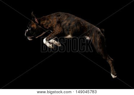 Jumping Boxer Dog Brown with White Fur Color Isolated on Black Background