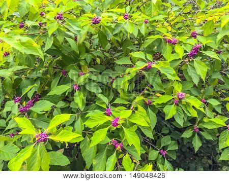 Cluster of purple and pink berries in a beauty berry plant
