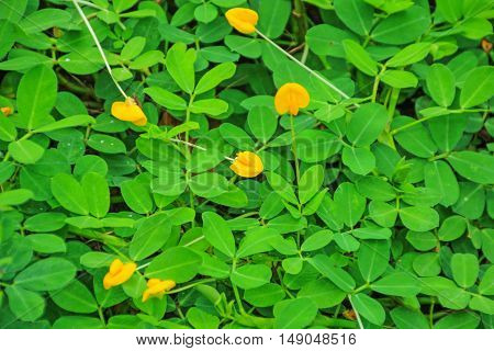 Yellow Brazil Nuts Flower