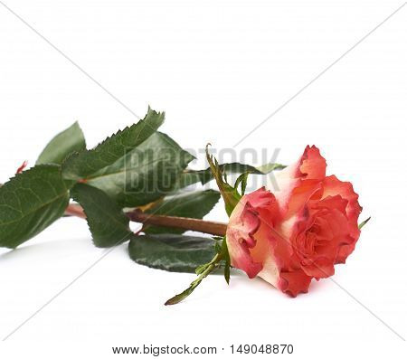 Single red pink rose isolated lying over the white surface