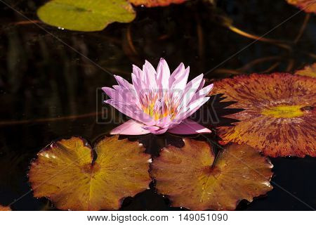 Blue star water lily, Nymphaea nochali, floats in a pond with its lily pads in Southern California