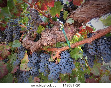 Wine grapes in the Central Coast of California.