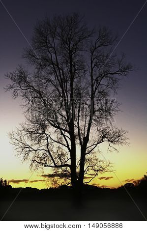 A large tree back light in relief in winter in the late evening