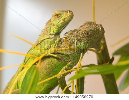 the green iguana resting on a tree