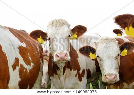 Herd of cow on white background