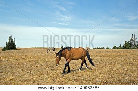 Wild Horse Dun Buckskin Stallion walking toward Sykes Ridge in the Pryor Mountains in Montana - Wyoming USA