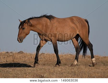 Wild Horse Dun Buckskin Stallion shining in the sun on Tillett Ridge above Teacup Bowl in the Pryor Mountains in Montana US