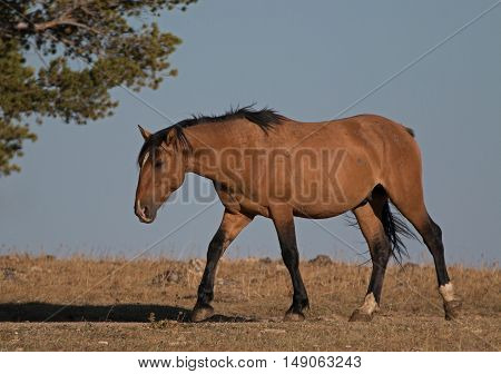 Wild Horse Dun Buckskin Stallion glowing in afternoon sun on Tillett Ridge above Teacup Bowl in the Pryor Mountains in Montana - Wyoming USA