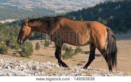 Wild Horse Dun Buckskin Stallion on Tillett Ridge above Teacup Bowl in the Pryor Mountains in Montana US of A