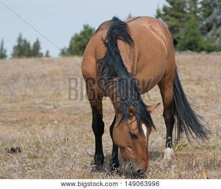 Wild Horse Dun Buckskin Stallion on Sykes Ridge in the Pryor Mountains in Montana - Wyoming US