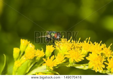 Fly on goldenrod solidago flower close-up with bokeh background selective focus shallow DOF