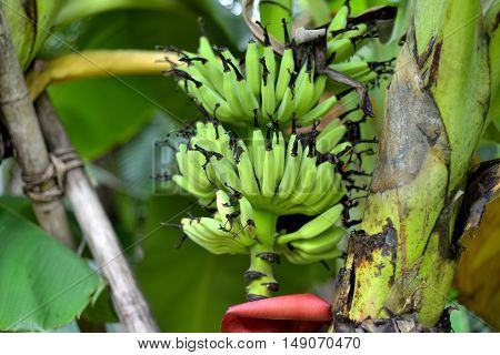 Unripe plump bananas on the banana plant
