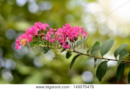 lagerstroemia. Plant flower nature close up, thailand