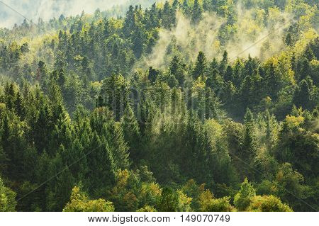 Healthy deciduous and coniferous trees in the early autumn morning. Autumn forest. Mystic haze playing between treetops. Golden autumn tree crowns.