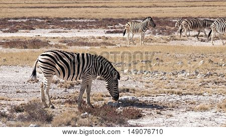 Zebras in the Etosha National Park, Namibia