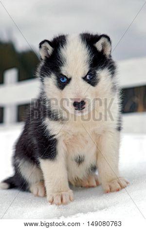 Siberian Husky puppy six weeks sitting in snow